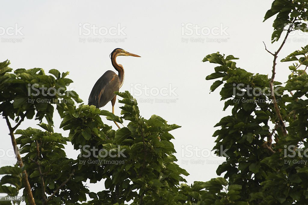 Red heron on a tree royalty-free stock photo