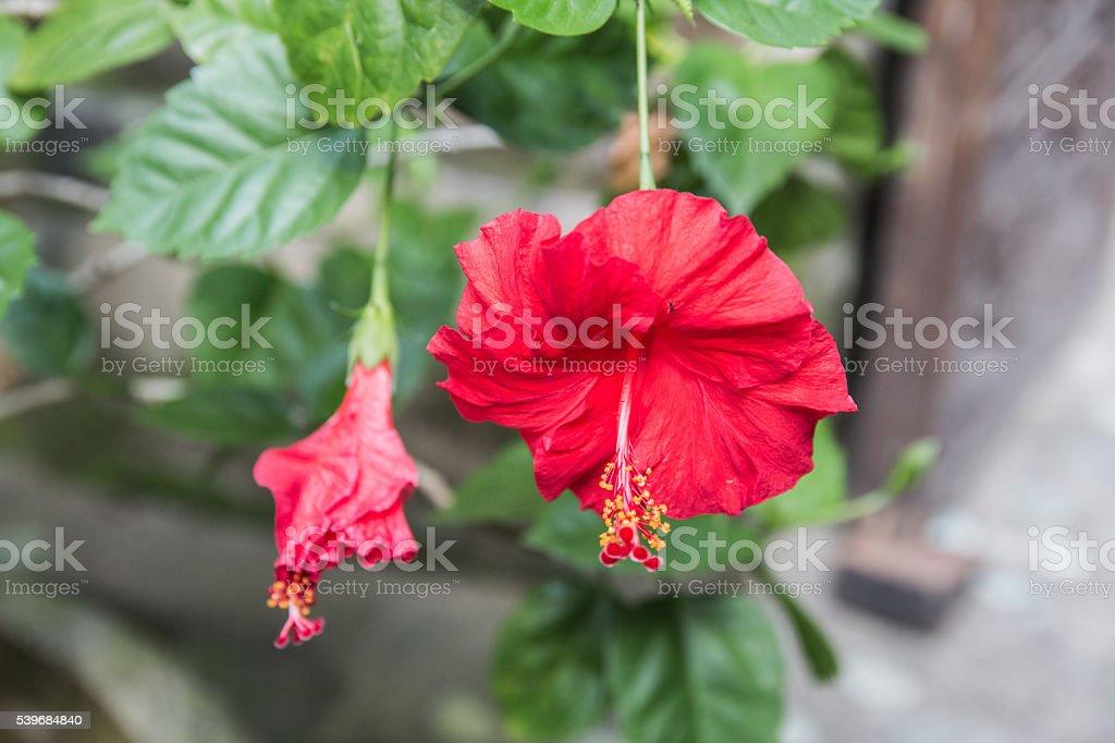 Red Hibiscus at Bali stock photo