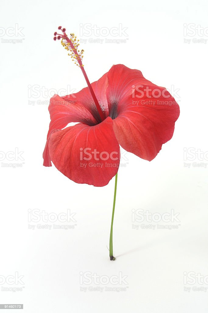 A red hibiscus blossom on a white background royalty-free stock photo