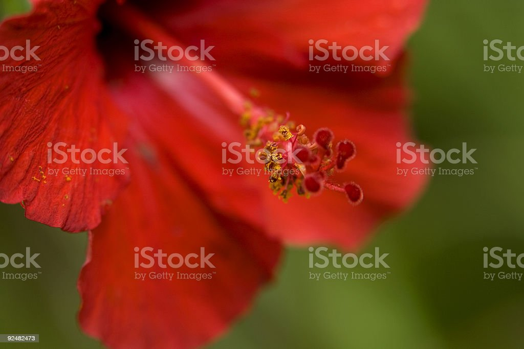 Red hibiscus flower detail extreme close up macro royalty-free stock photo