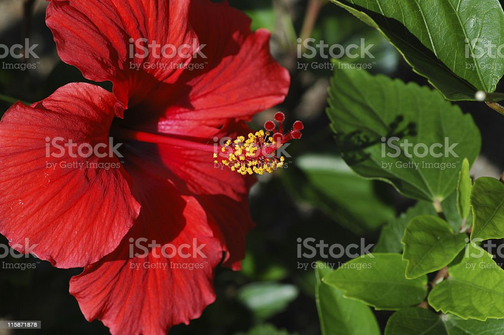 red hibiscus flower, Hibiscus rosa-sinensis royalty-free stock photo