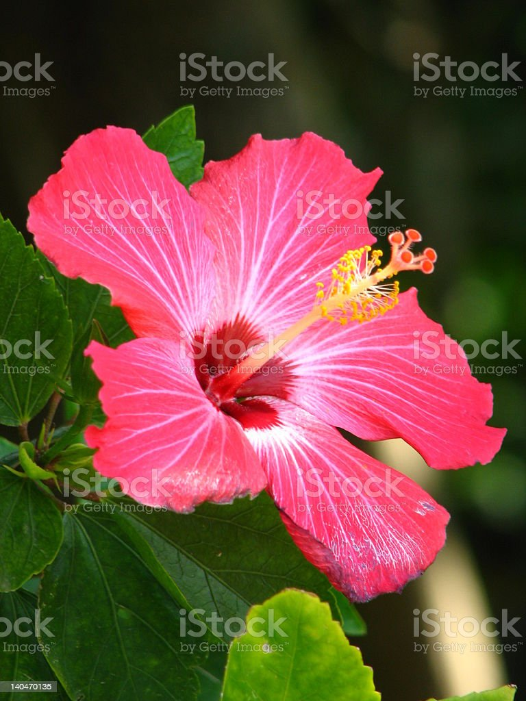 Red hibiscus flower in high definition royalty-free stock photo