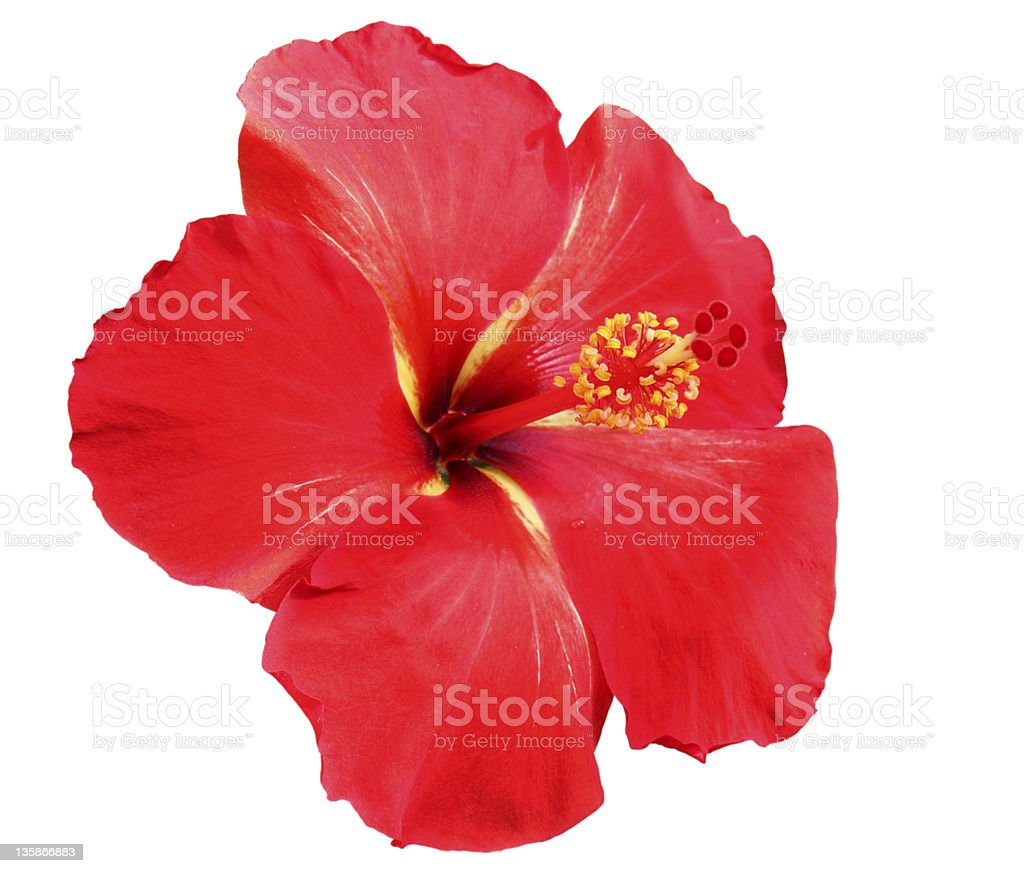 A red hibiscus flower isolated on a white background stock photo