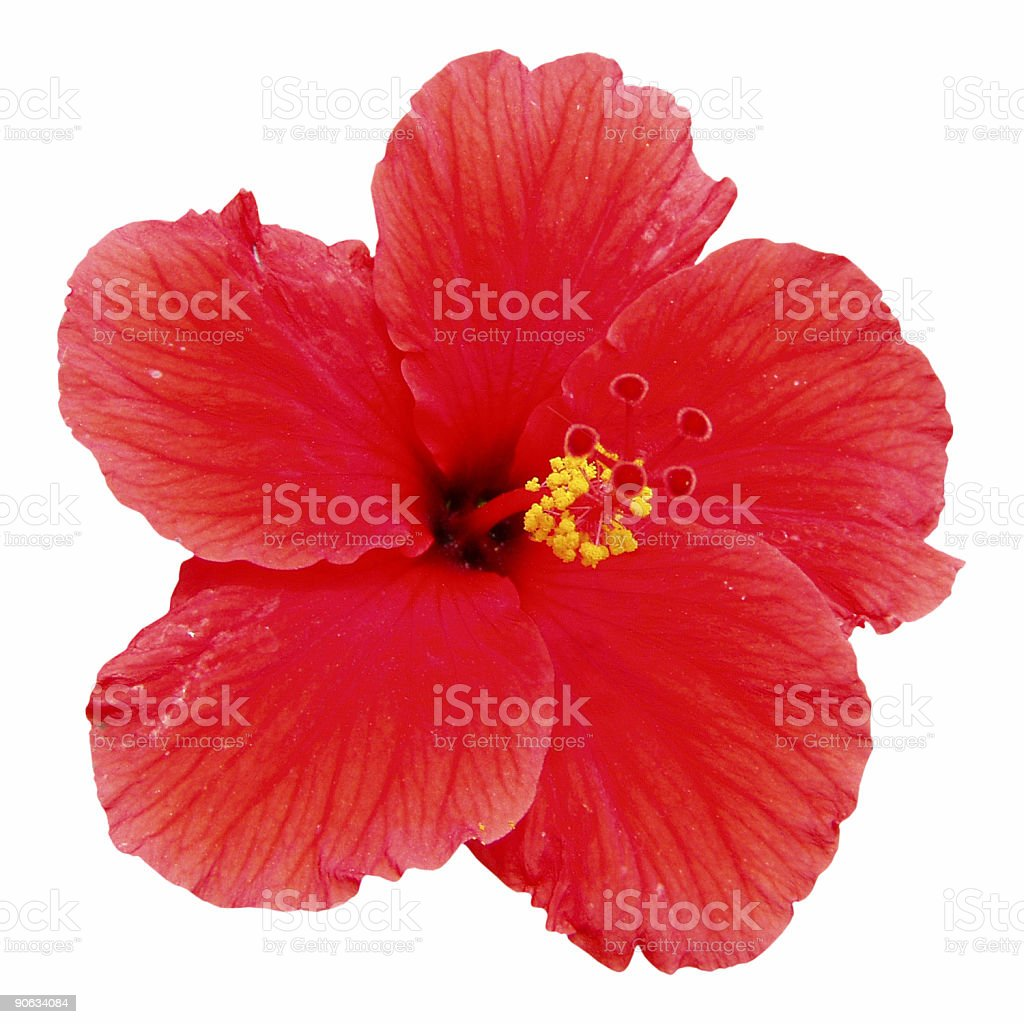 Red hibiscus flower isolated on white stock photo