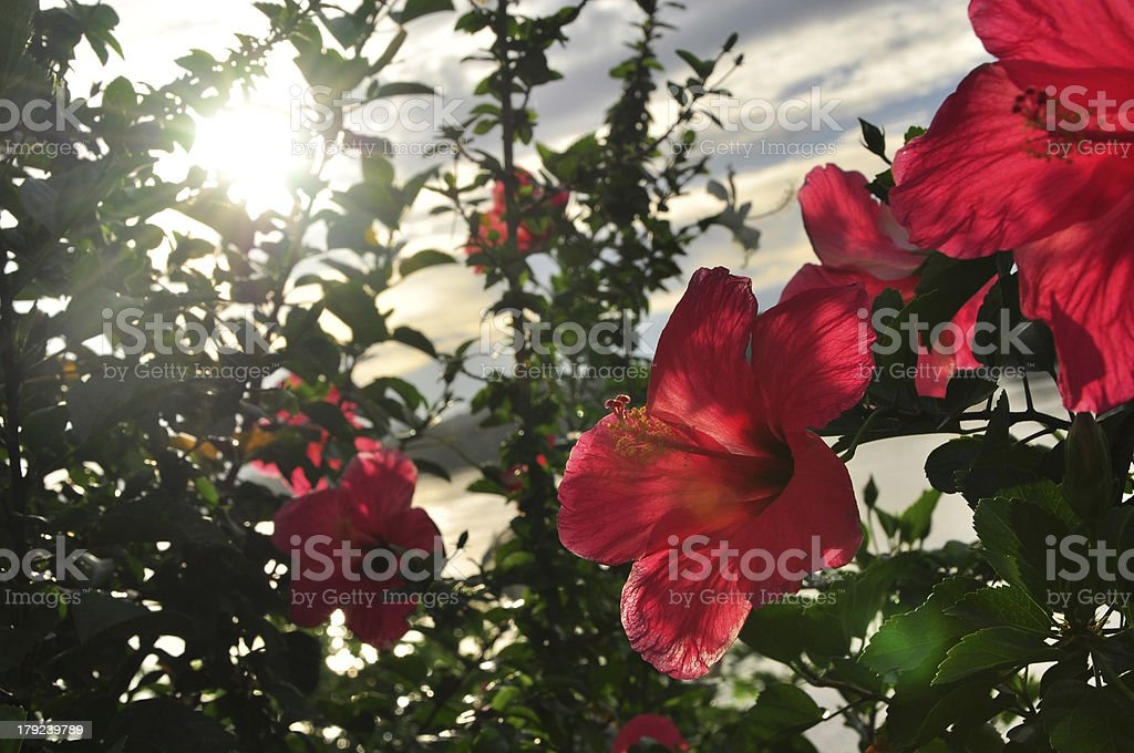 Red hibiscus flower on sunset background royalty-free stock photo