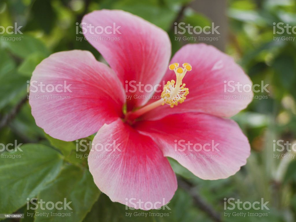 red hibiscus flower royalty-free stock photo