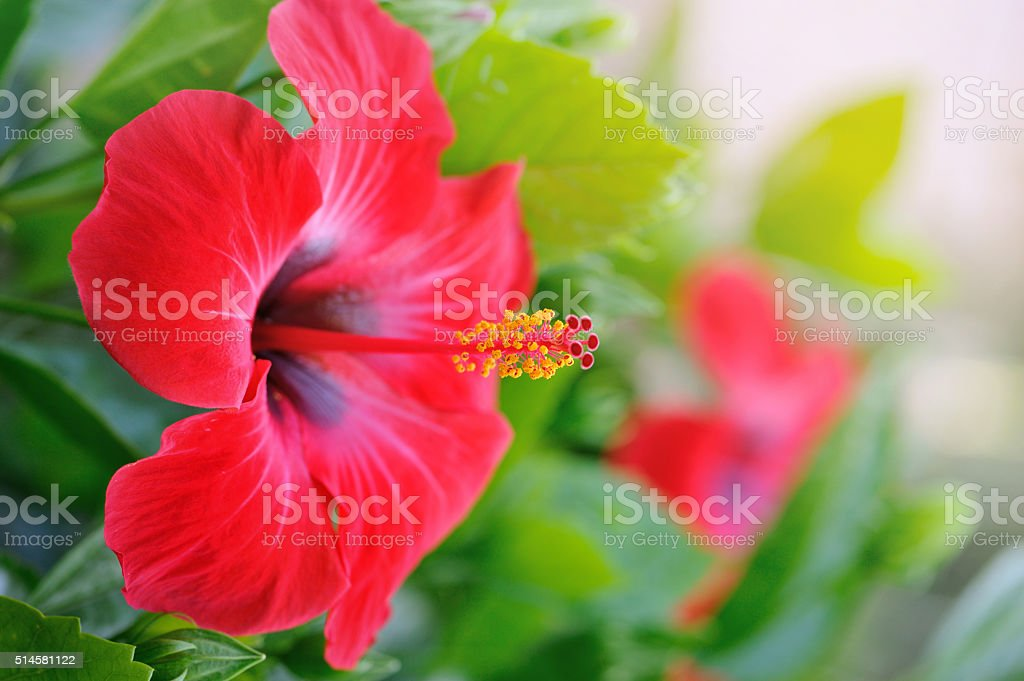 hibiscus pictures, images and stock photos  istock, Beautiful flower