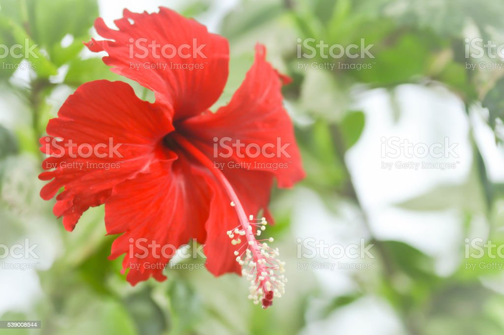 red hibiscus  flower stock photo