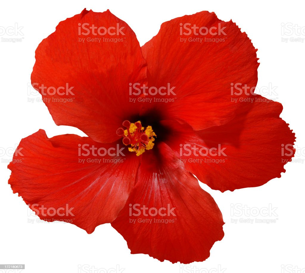 Red Hibiscus Flower with Path royalty-free stock photo