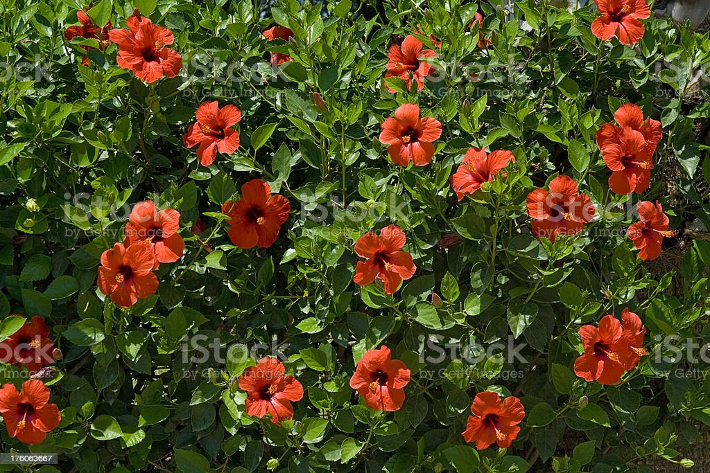 Red hibiscus flowers stock photo