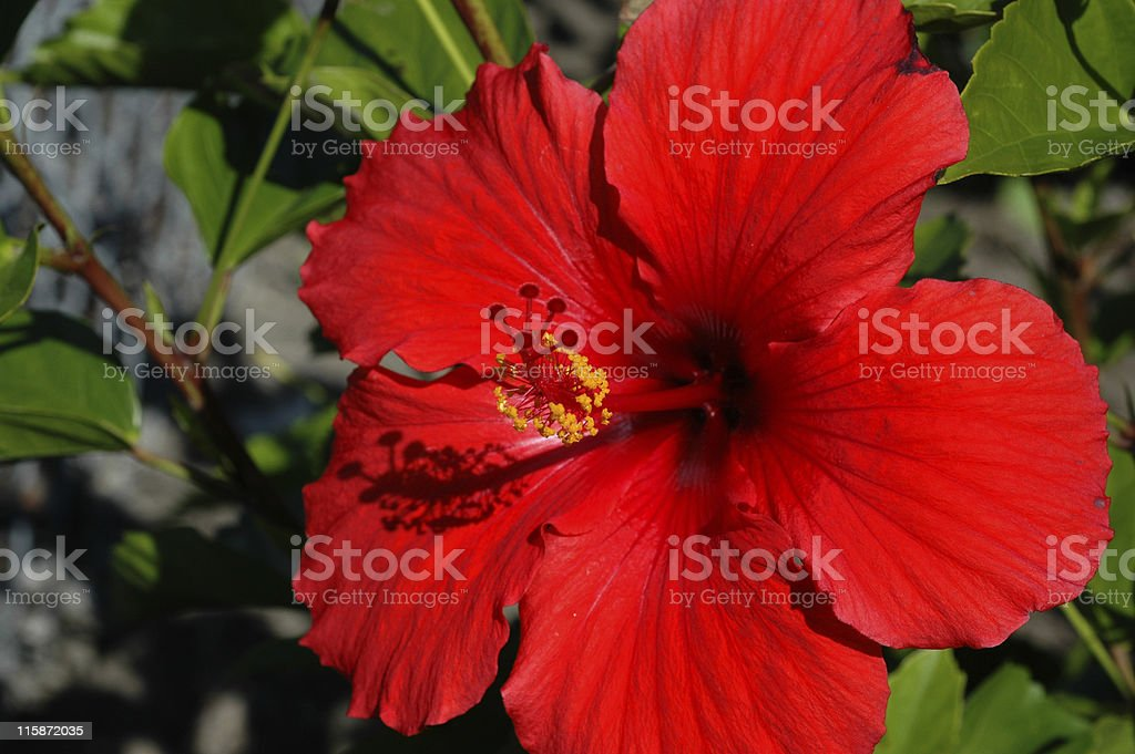 red hibiscus, Hibiscus rosa-sinensis, flower royalty-free stock photo