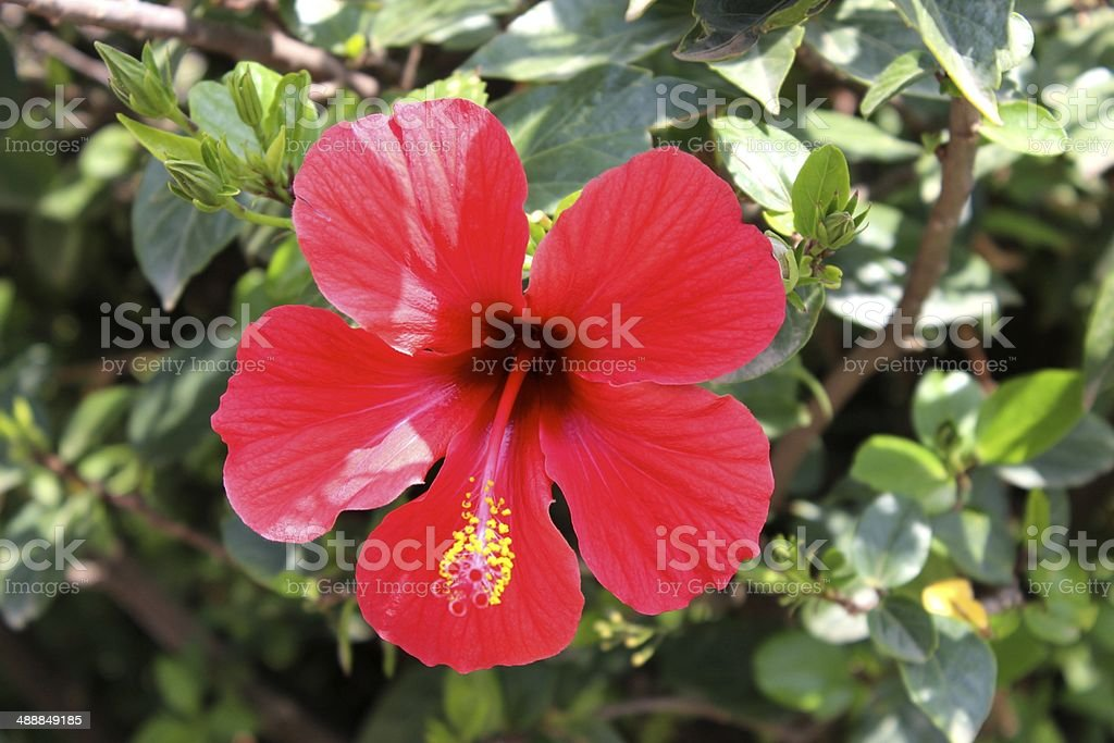 Red Hibiscus in Addis Ababa royalty-free stock photo