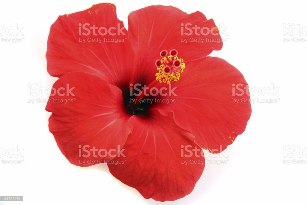 Red hibiscus isolated on the white backgroun stock photo