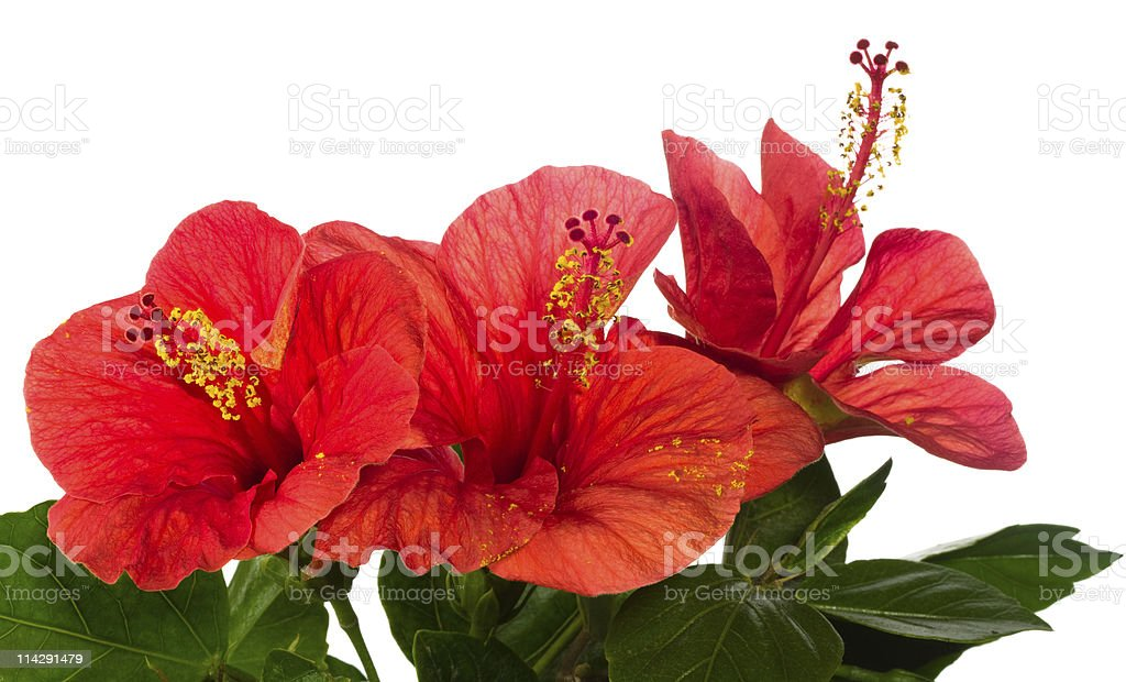 red hibiscus isolated on the white background royalty-free stock photo