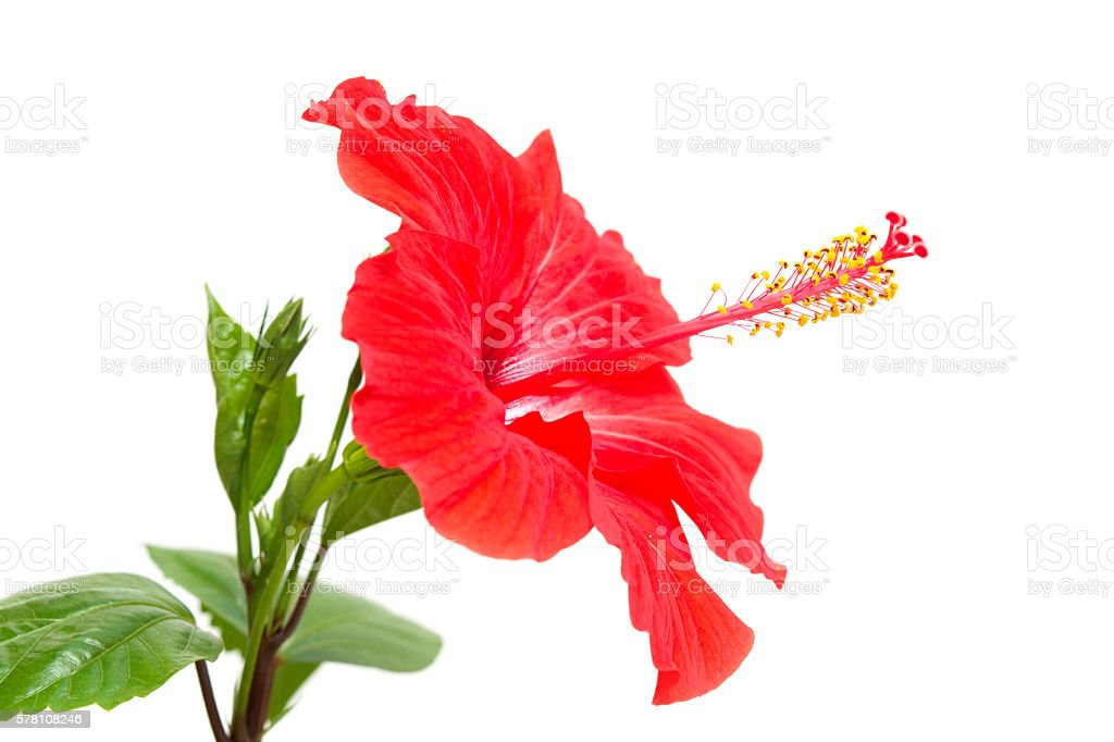 Red Hibiscus isolated on the white background stock photo