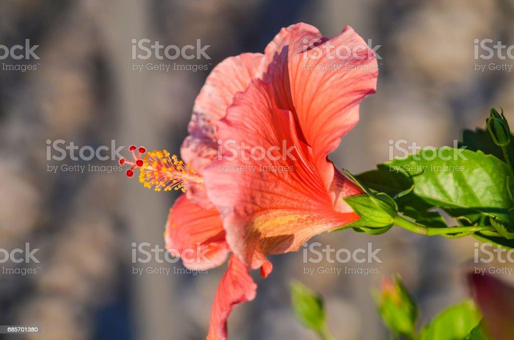 Red hibiscus leaf macro closeup in fall stock photo