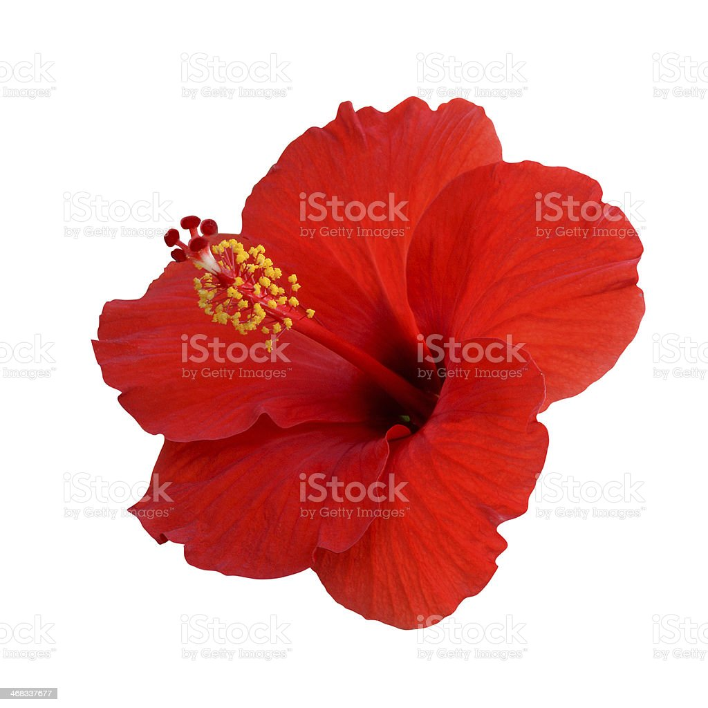 Red hibiscus on a white background stock photo