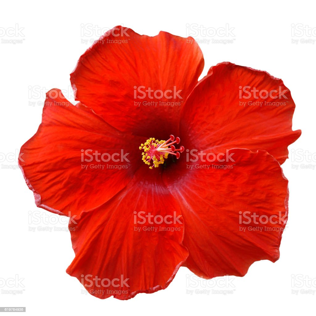 Red Hibiscus on white background with path stock photo