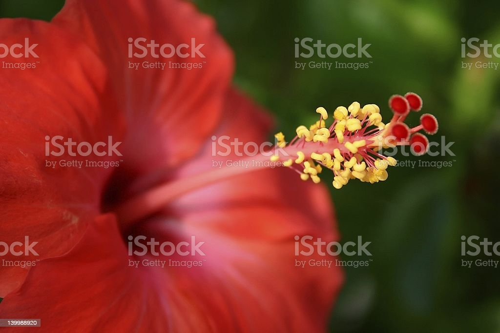Red Hibiscus royalty-free stock photo