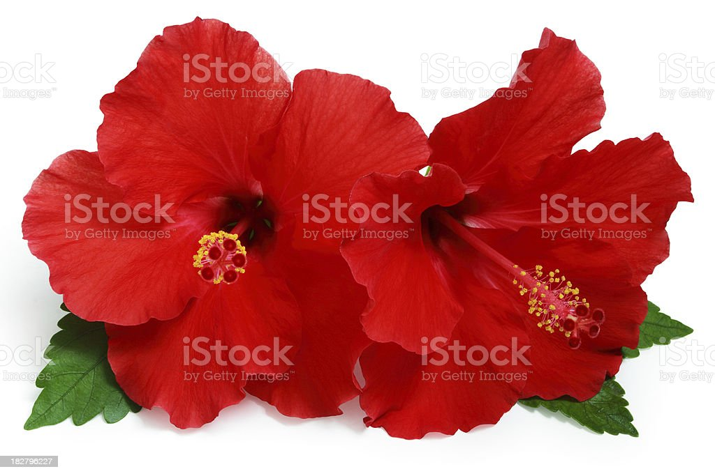 Red Hibiscus. royalty-free stock photo