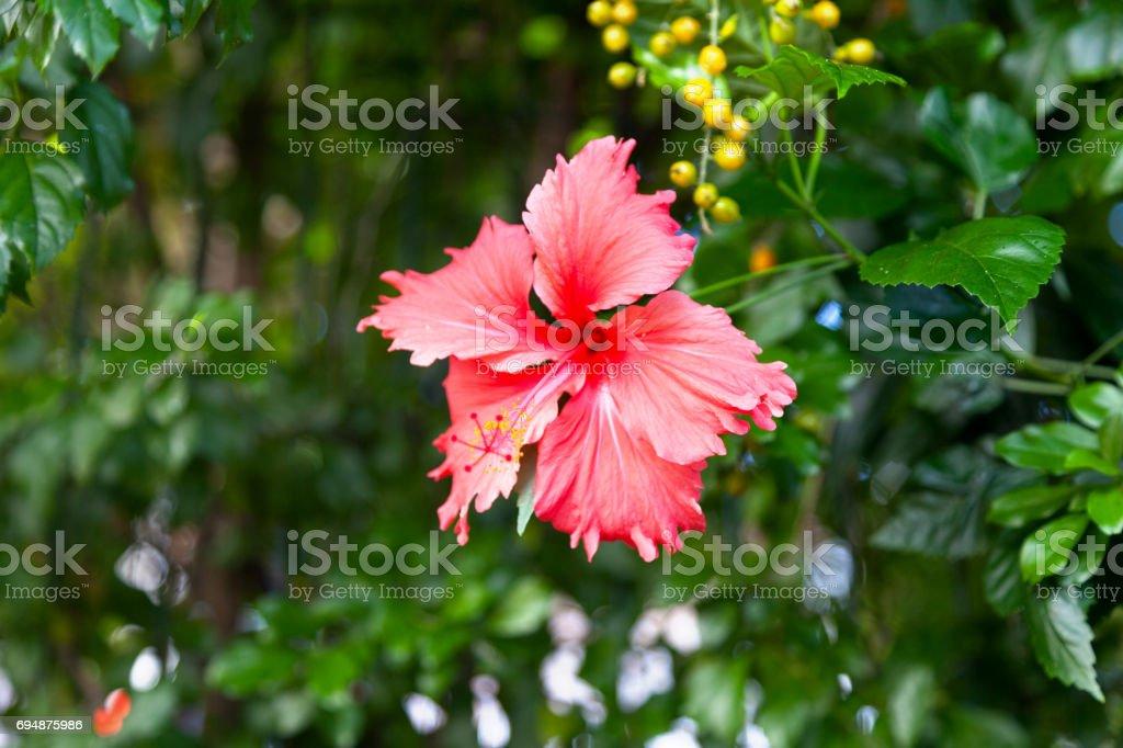 Rote Hibiscus-Psyche – Foto