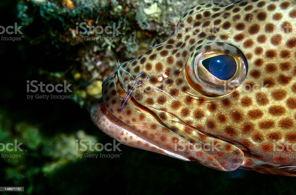 Red hind grouper stock photo