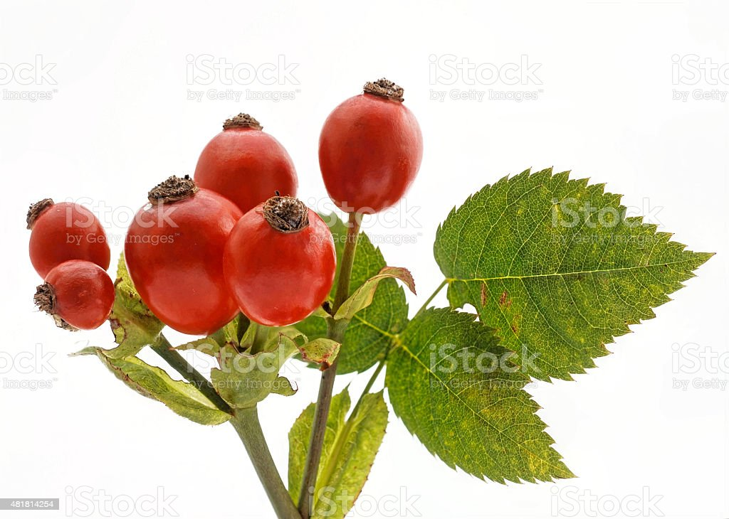 red hips with green leaves on white stock photo