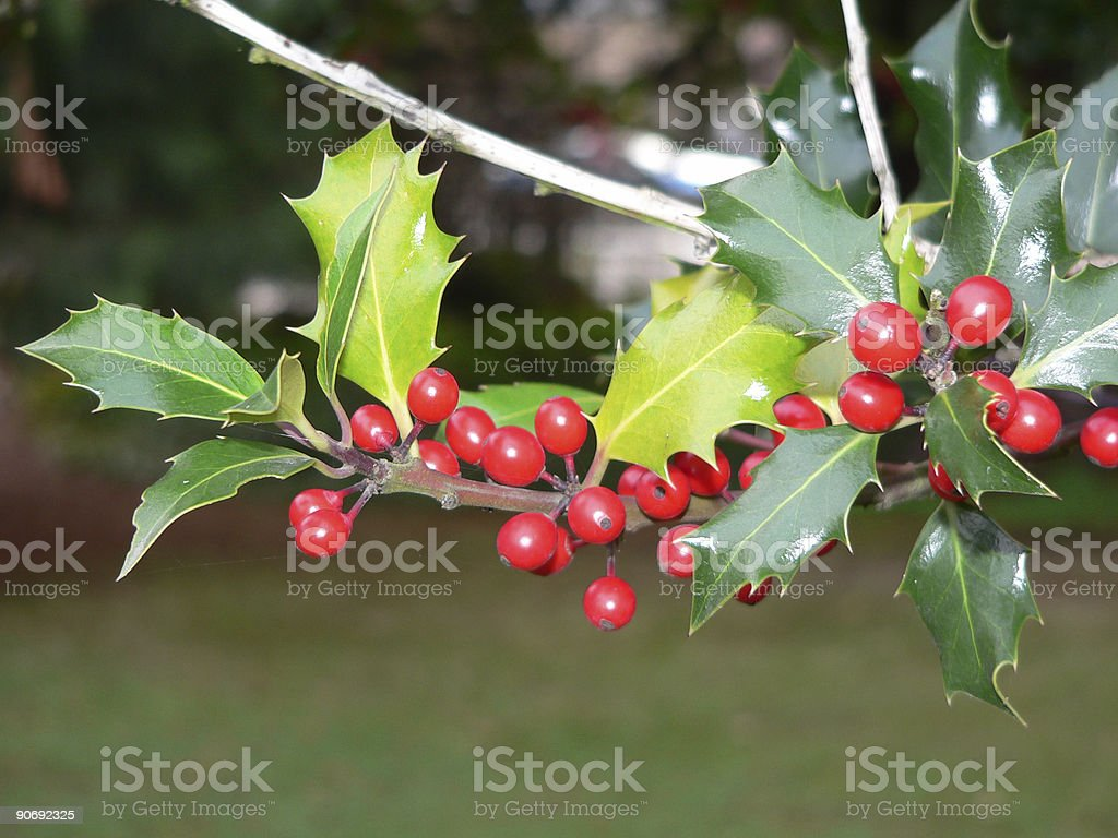 Red Holly Berries royalty-free stock photo