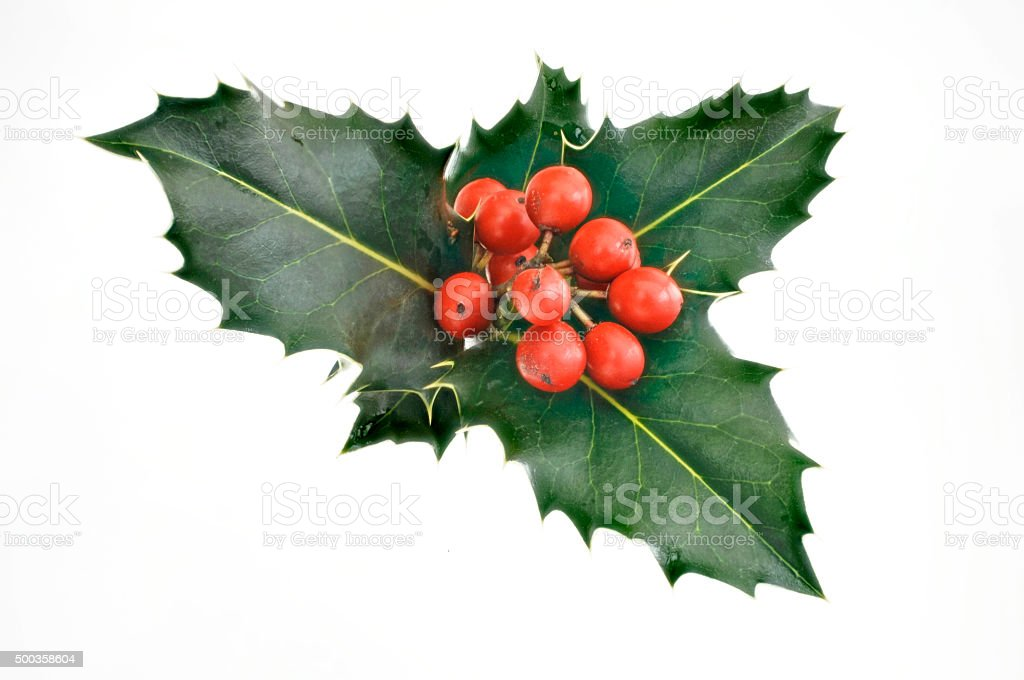 red holly berries with green leaves stock photo