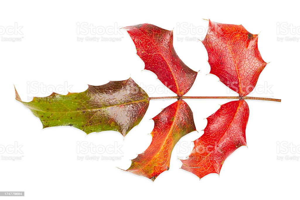Red Holly Leaves with Clipping Path royalty-free stock photo