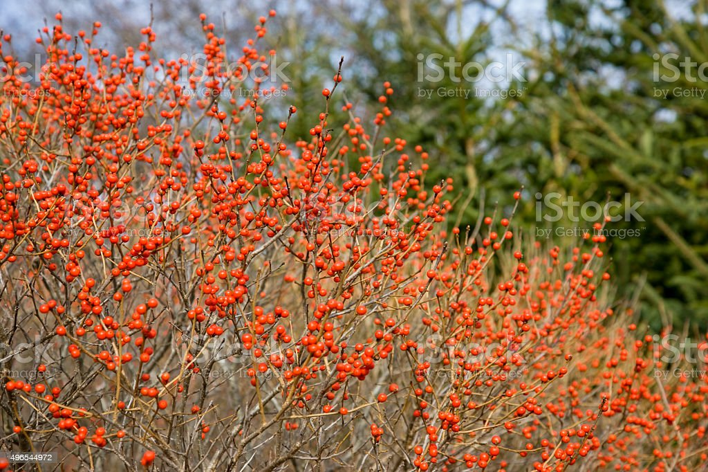 Red holly or winterberry bush stock photo