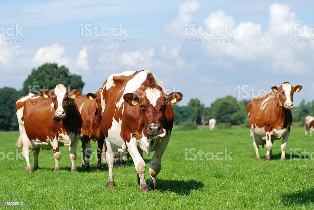 Red Holstein improved cattle walking through a pasture. royalty-free stock photo
