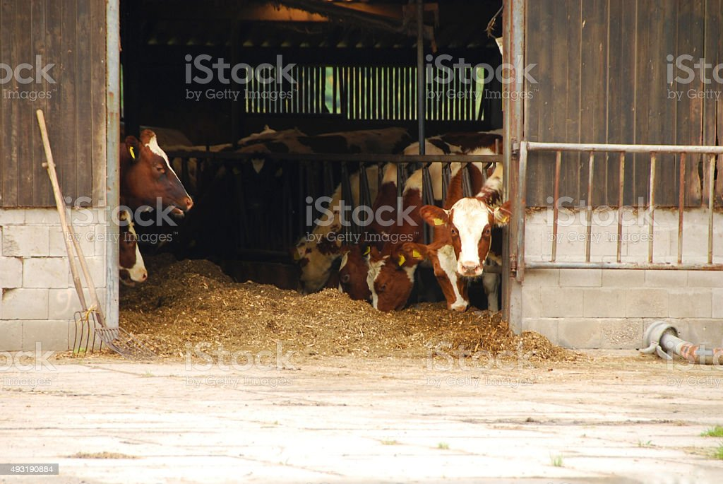 Red Holstein spotted milch Cows inside of a Barn. stock photo
