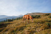 Red horse grazing in the meadow. Carpathians