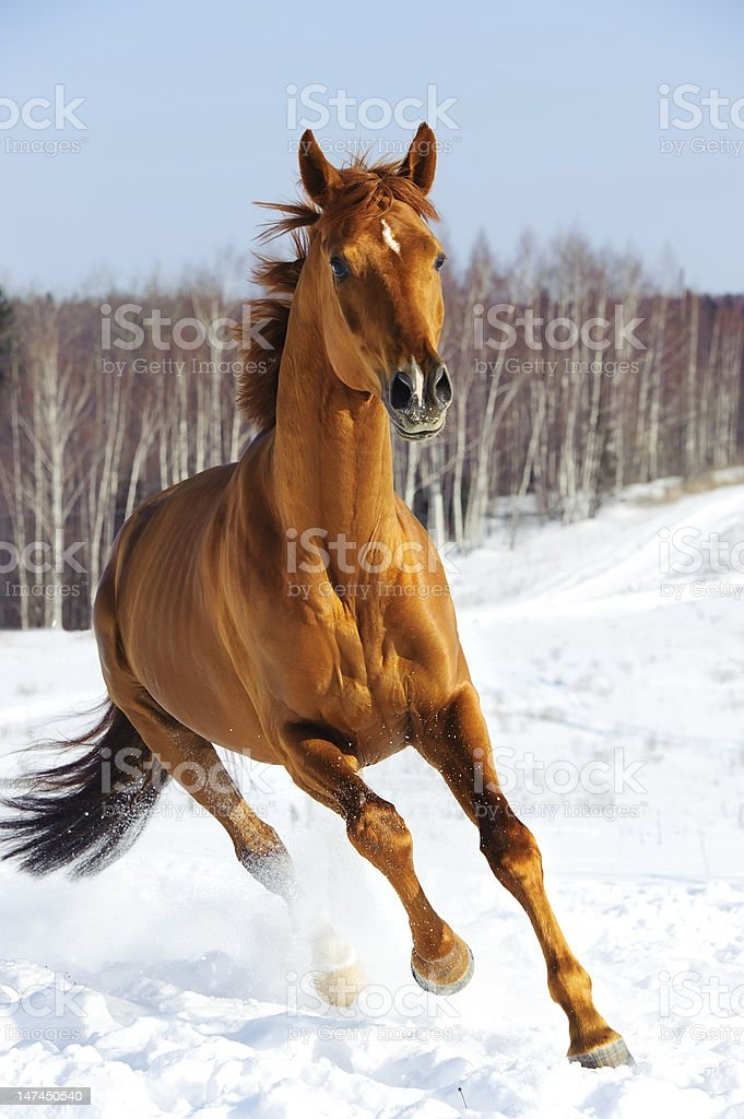 Red horse runs front in winter royalty-free stock photo