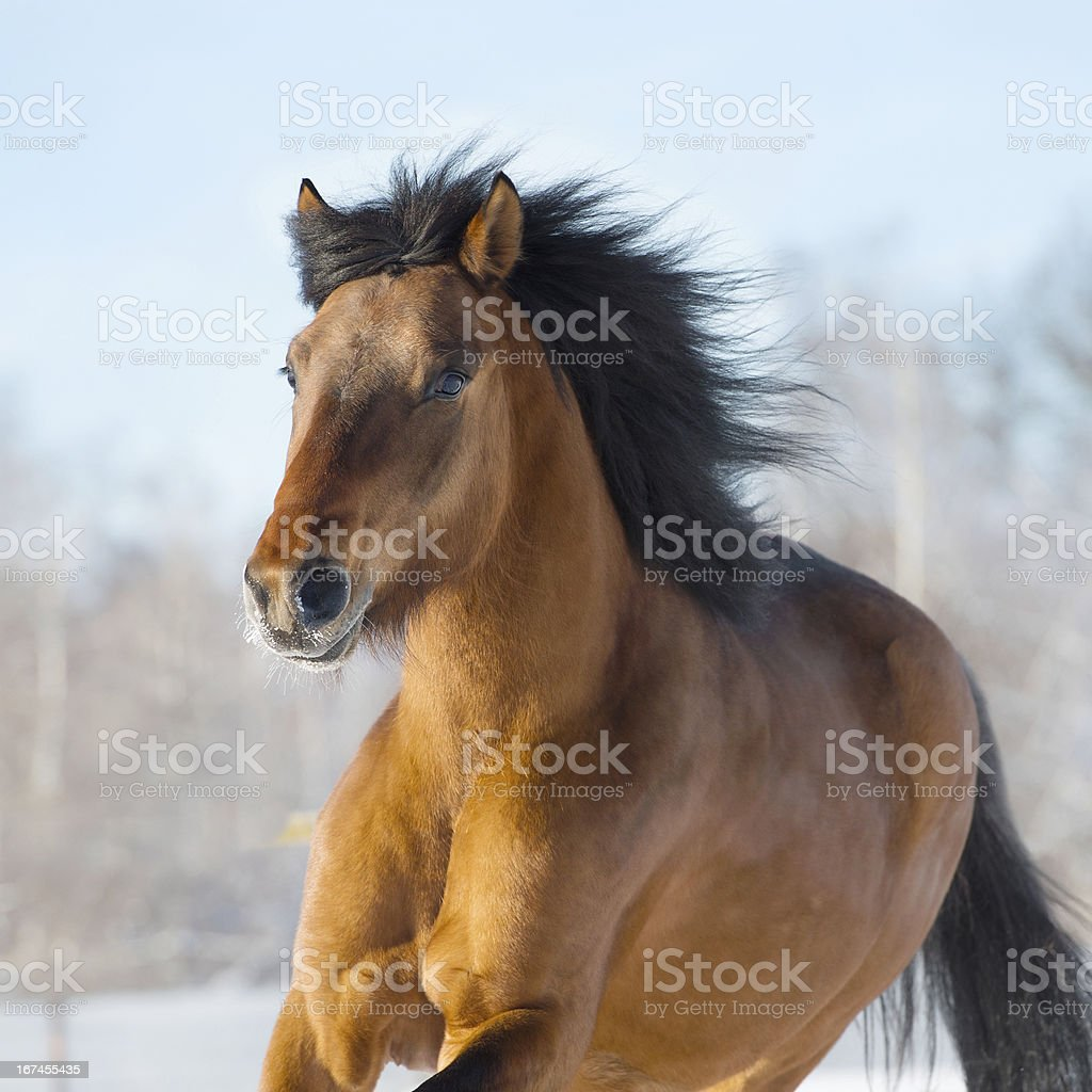 Red horse runs gallop in winter royalty-free stock photo