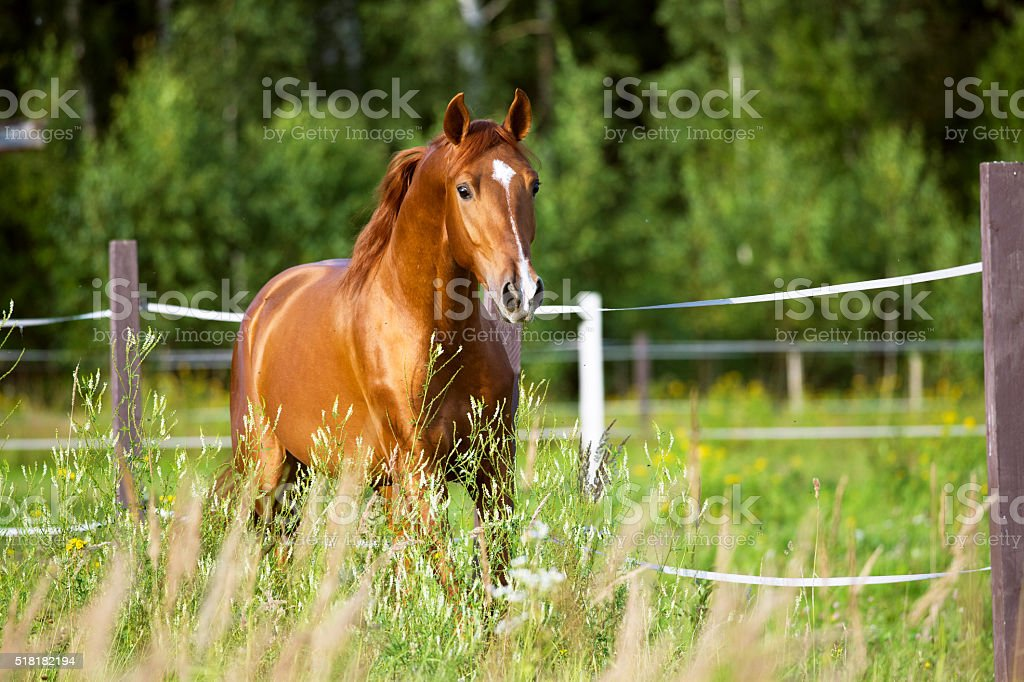 Red horse runs trot on the nature background stock photo
