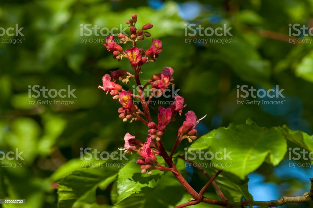 Red horse-chestnut,  Aesculus hippocastanum or Conker tree with flower and leaf stock photo
