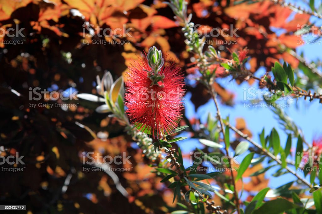 Red horse-chestnut blooming in spring, San Francisco bay, California stock photo