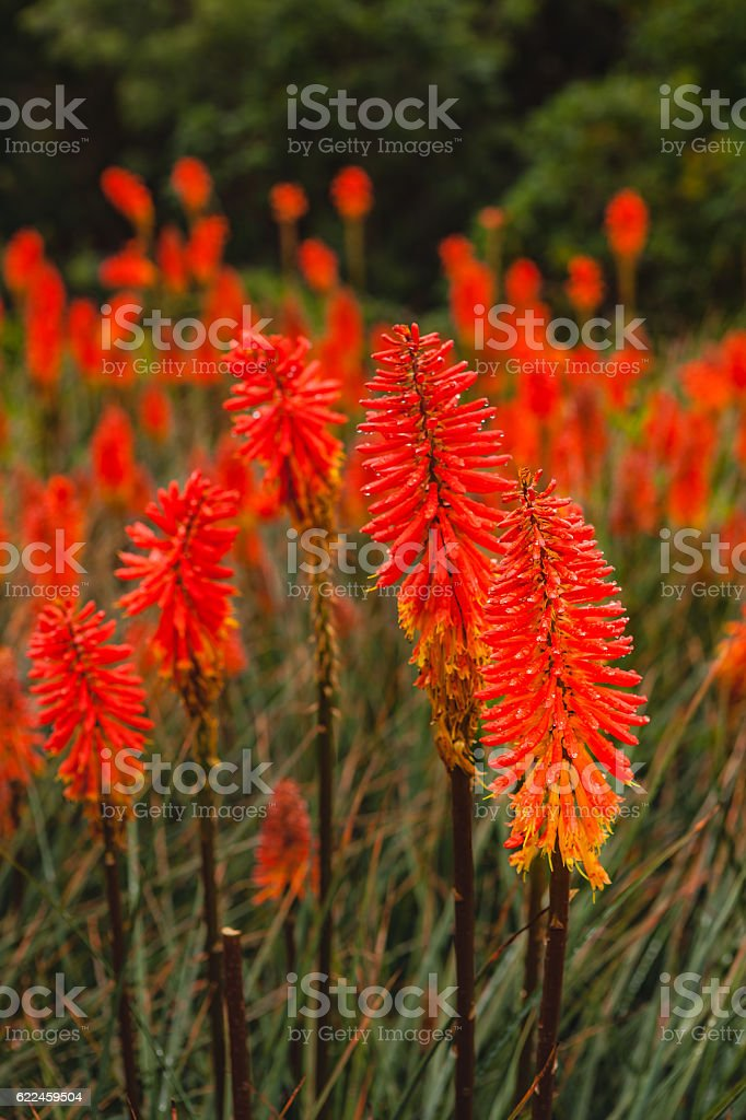 Red Hot Poker on Andes Mountains, a Blaze of Orange. stock photo