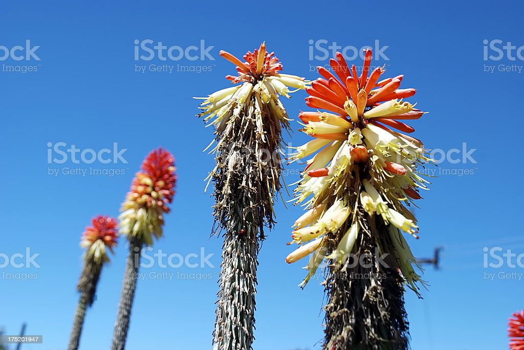 'Red Hot Poker' or Torch Lily (Kniphofia Uvaria) royalty-free stock photo