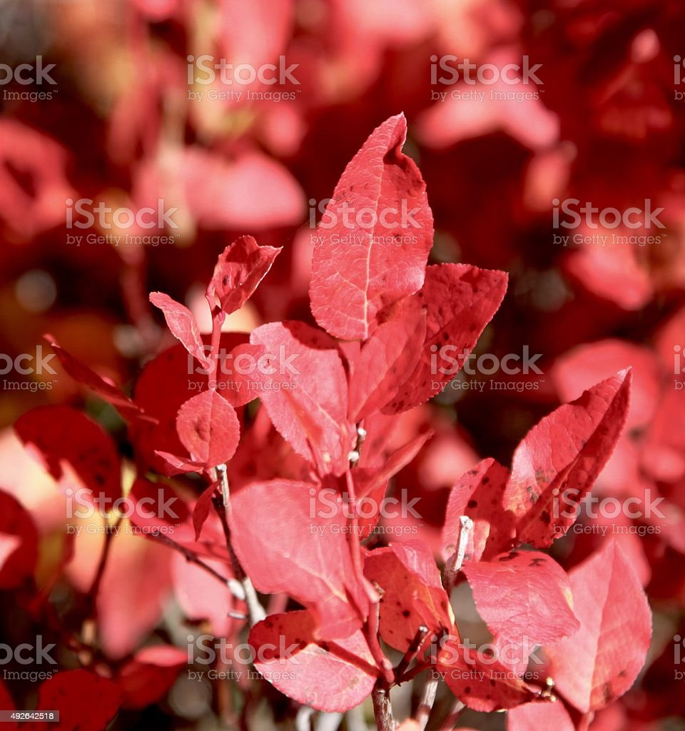 Red Huckleberry Bushes stock photo