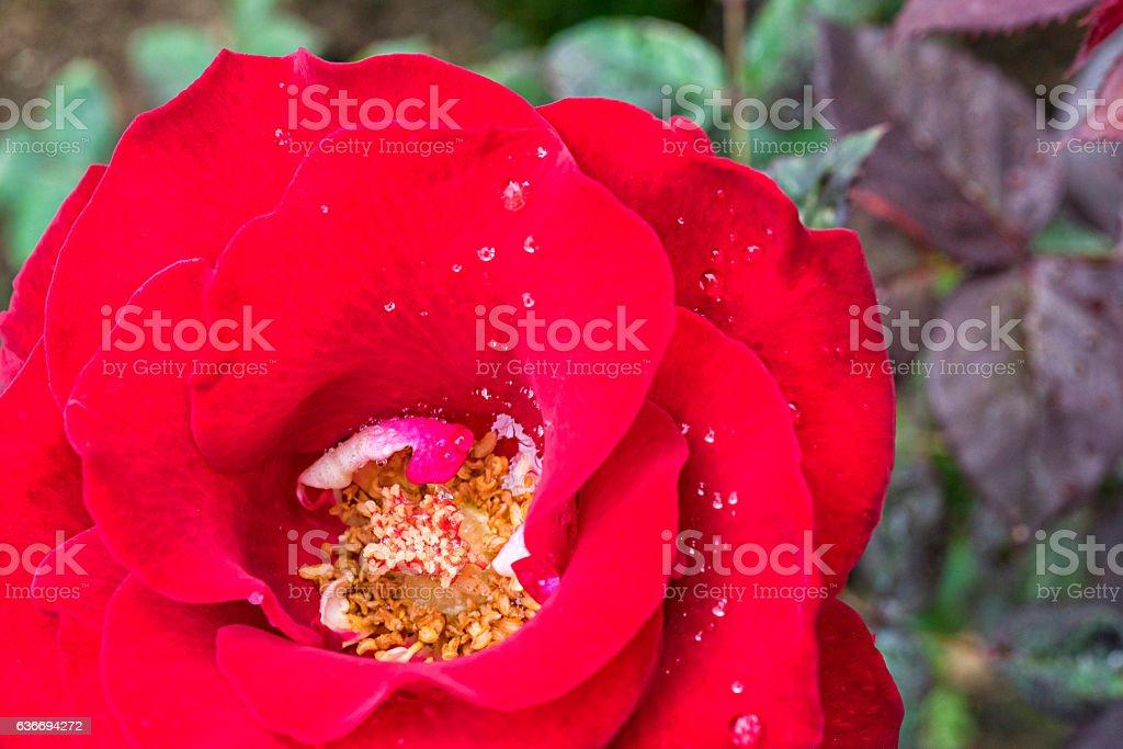 Red Hybrid Rose stock photo