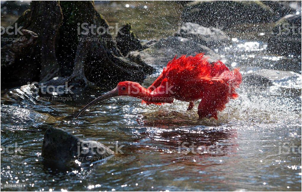 Red Ibis enjoying a bath stock photo