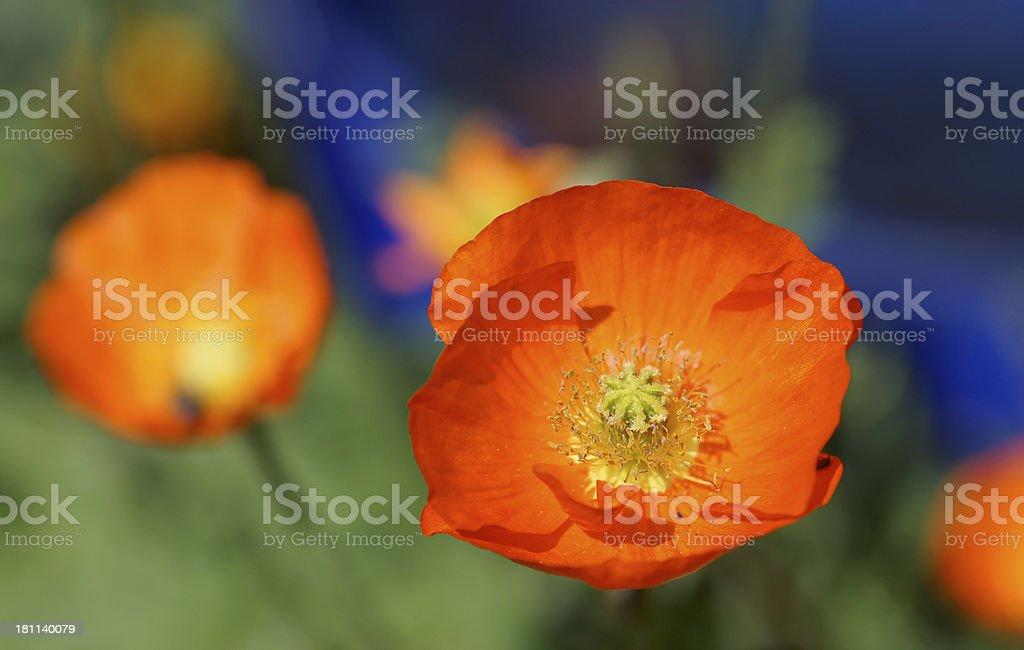 Red iceland poppy royalty-free stock photo