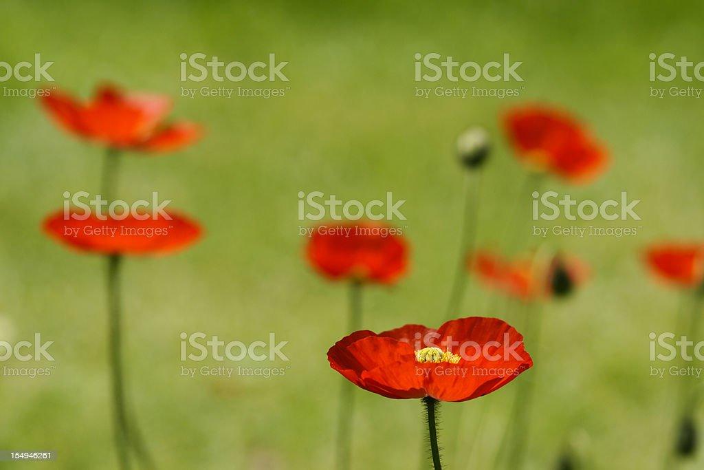 Red iceland-poppy royalty-free stock photo