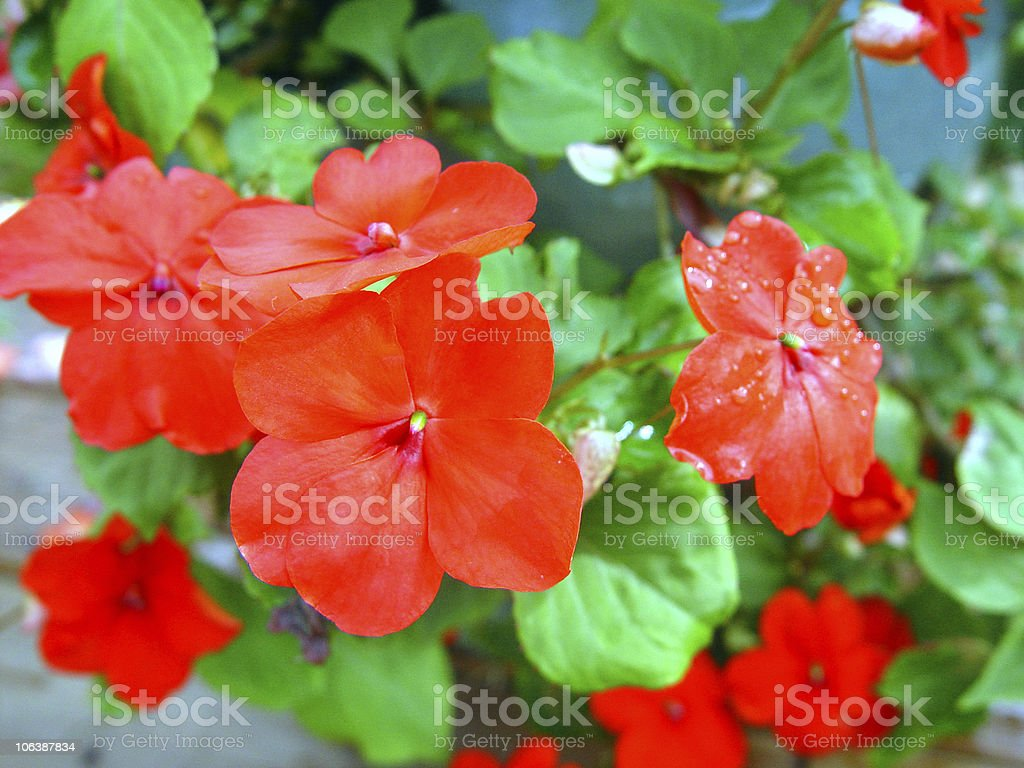 Red Impatiens royalty-free stock photo