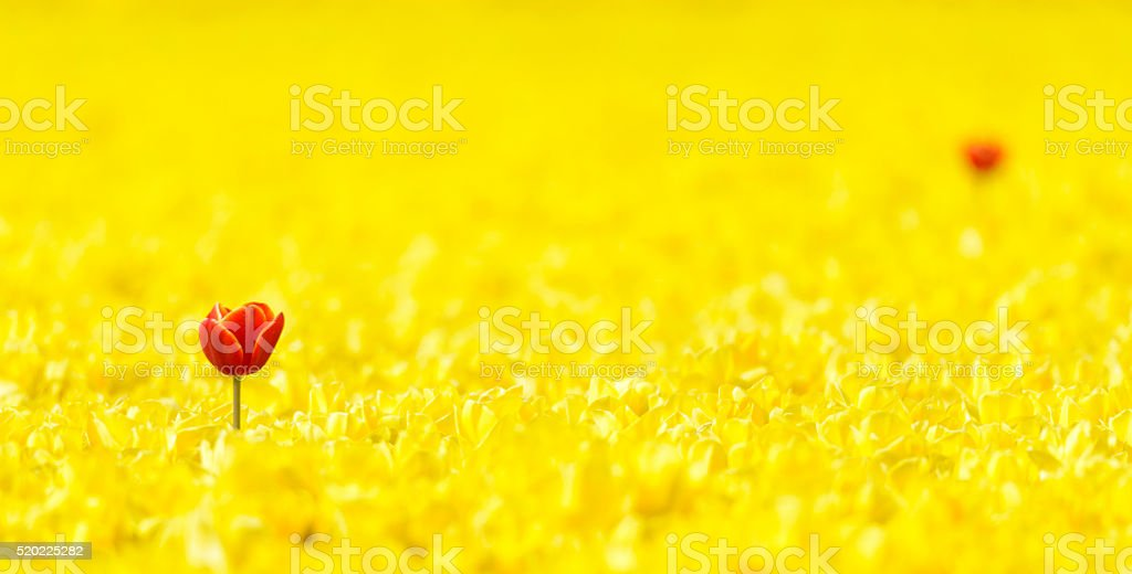 Red in a field of yellow Tulips stock photo