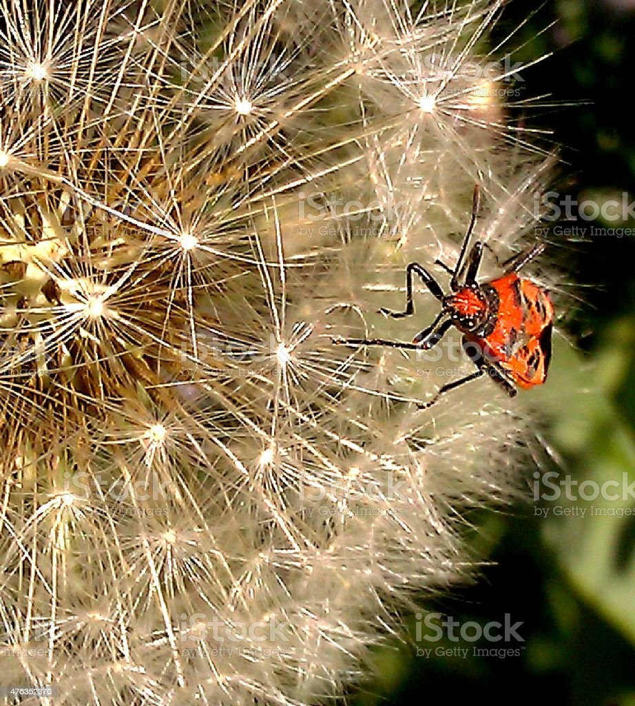 Red insect on dandelion seedhead stock photo