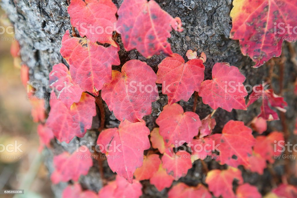 Red ivy stock photo